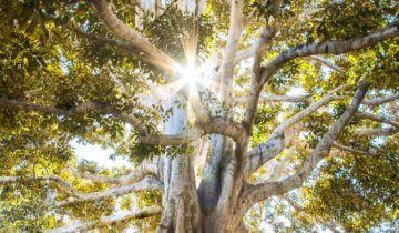 ¡Los milagros del aceite de Baobab!