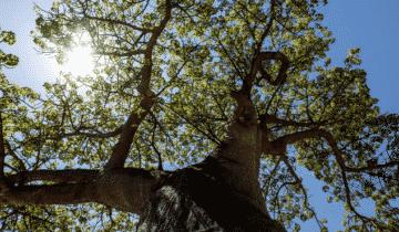 El aceite de Baobab para la cara